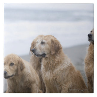 Several Golden retrievers sitting on beach Tile