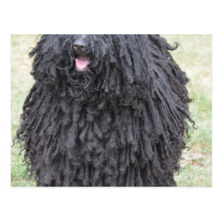Shaggy Puli Dog Postcard