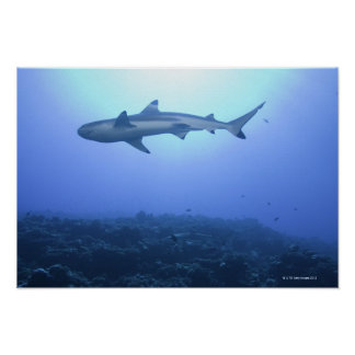 Shark in ocean, low angle view poster
