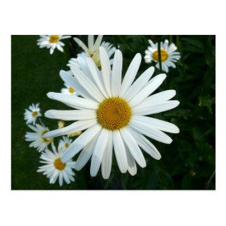 Shasta Daisy Post Card