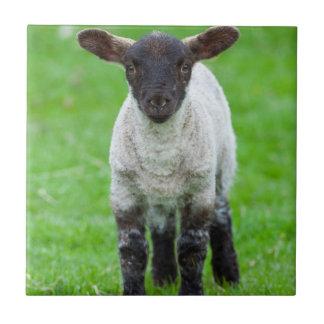 Shetland Sheep 4 Tile