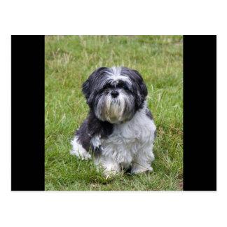 Shih Tzu dog beautiful photo cute postcard