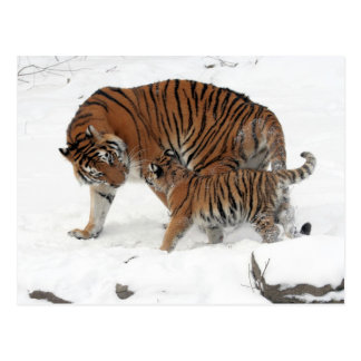 Siberian Tiger and Cub Postcard