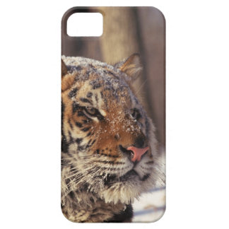 Siberian tiger iPhone 5 cover