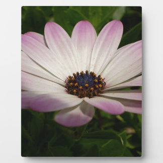 Side View of A Pink and White Osteospermum Plaque