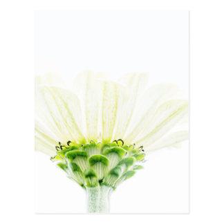 Simplistic White Zinnia Postcard