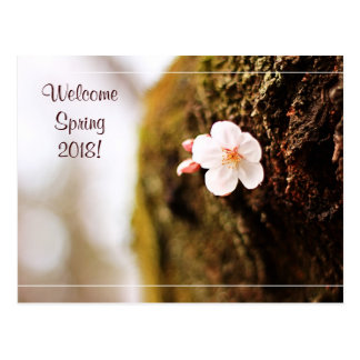 Single Cherry Blossom Tree Trunk Sakura Spring Postcard