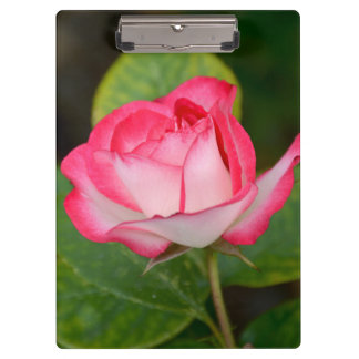 Single pink and white rose clipboard