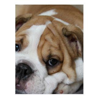 Sleeping Bulldog Postcard