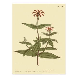 Slender Flowered Red Zinnia Illustration Postcard