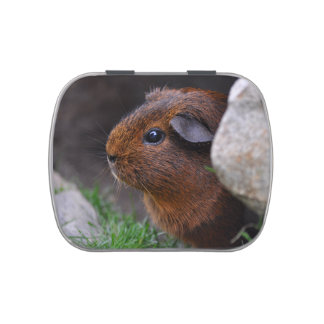 Smooth, Gold Agouti Guinea Pig in Grass and Rocks Jelly Belly Candy Tins