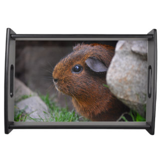 Smooth, Gold Agouti Guinea Pig in Grass and Rocks Service Trays