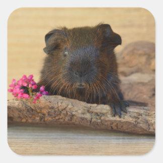 Smooth, Golden Agouti Guinea Pig and Flower Square Sticker
