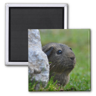 Smooth, Lemon Agouti Guinea Pig in Grass Square Magnet