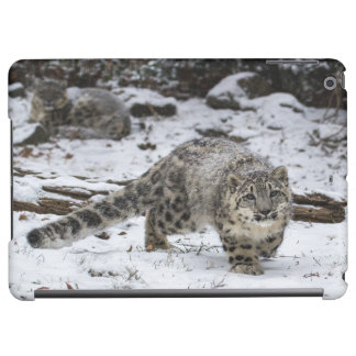 Snow Leopard Cub Stalking Birds