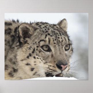 Snow leopard (Uncia uncia) 2 Print