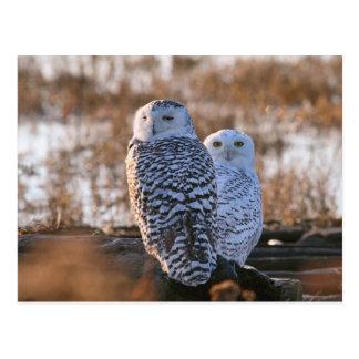 Snowy Owl Couple Post Card