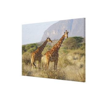 Somali Giraffe, Reticulated Giraffe, Giraffa Canvas Print