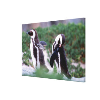 South Africa, Simons Town. Grooming Jackass Canvas Print
