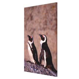 South Africa, Simons Town. Jackass Penguins 2 Canvas Print