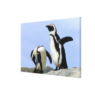 South Africa, Simons Town. Jackass Penguins Canvas Print