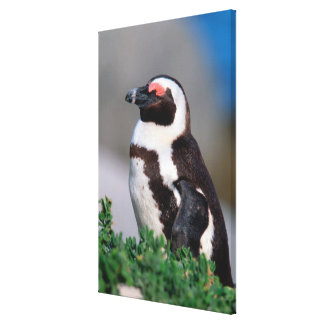 South Africa, Simons Town. Sleeping Jackass Canvas Print