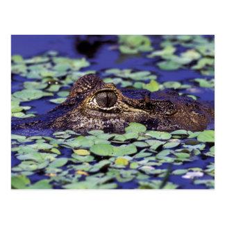 South America, Brazil, Amazon Rainforest, 4 Postcard