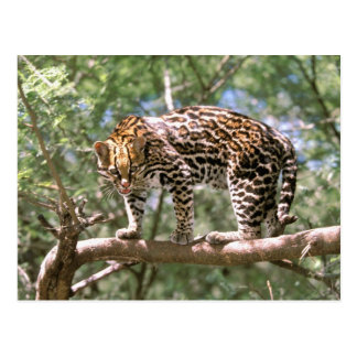 South America, Ecuador, Amazon. Ocelot Postcard