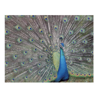 South America, Venezuela,  Peacock displaying Postcard