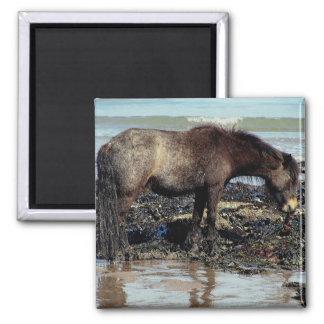 South Devon Dartmoor Pony Enjoying Eating Seaweed Square Magnet