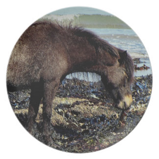 South Devon Dartmoor Pony Enjoying Eating Seaweed Plates