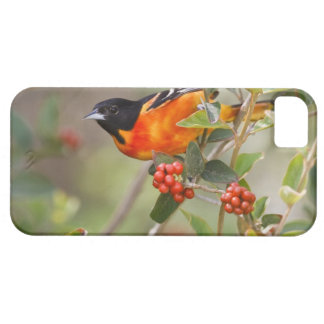South Padre Island, Texas, USA, Baltimore Oriole iPhone 5 Cover