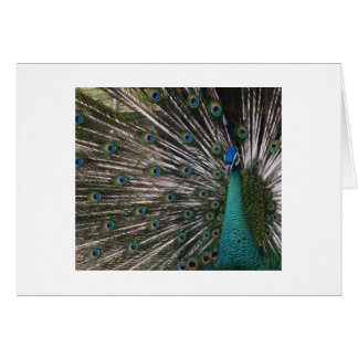 Spalding Peacock Off Center Display Card