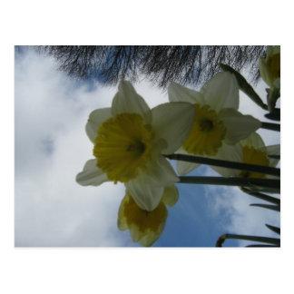 Spring Daffodils postcard