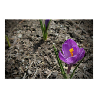 Springtime Purple and Yellow Crocus Flower Photo Poster