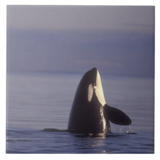 Spyhopping Orca Killer Whale (Orca orcinus) near Large Square Tile