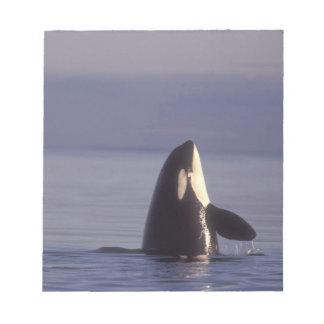Spyhopping Orca Killer Whale (Orca orcinus) near Notepad