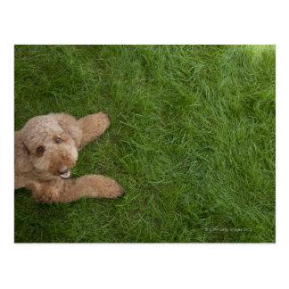 standard poodle 2 postcard
