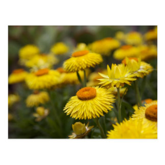 Strawflowers Postcard