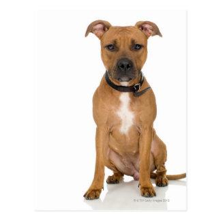 Studio portrait of American pit bull puppy 3 Postcard