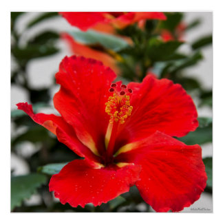 Stunning red-orange hibiscus