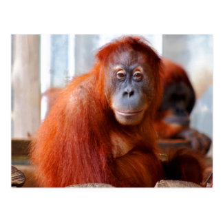 Sumatran Orangutan, Friendly and Intelligent Postcard