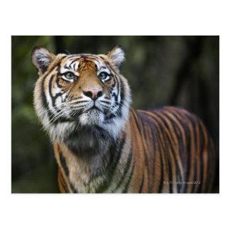 Sumatran Tiger (Panthera tigris sumatrae) in Postcard
