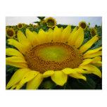 Summer Sunflower Series Post Card