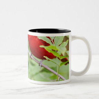 Summer Tanager Piranga rubra) male, spring, Two-Tone Coffee Mug
