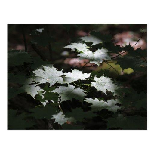 Sun Bathed Maple Leaves Postcards