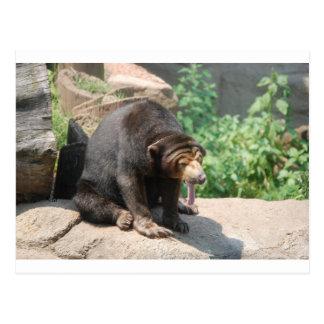 Sun Bear Postcard
