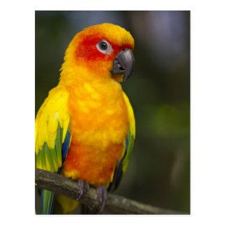 Sun Conure Parrot Postcard