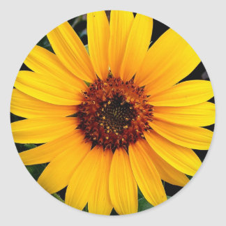 Sunflower Classic Round Sticker