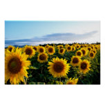 Sunflower Field Posters